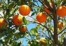 Hiszpanie walczą z marnotrawstwem pomarańczy, tworząc z nich biopaliwo