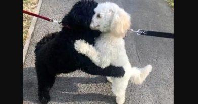 Dwa podobne psy wpadają sobie w ramiona podczas spaceru. Oto prawdziwy powód…