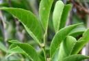 Naukowcy odkryli nowy gatunek roślin, które żywią się metalami