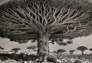 Kobieta spędziła 14 lat na fotografowaniu najstarszych drzew na świecie