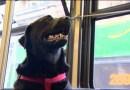 Pies który każdego dnia sam poróżuje autobusem