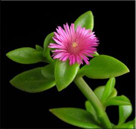 Аптения (Aptenia). Описание, виды и уход за аптенией