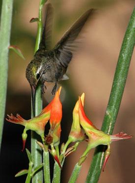Педилантус (Pedilanthus). Описание, виды и уход за педилантусом