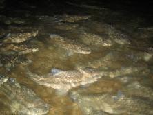 Ryby w podziemnej rzece