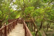 Las mangrowy (2)