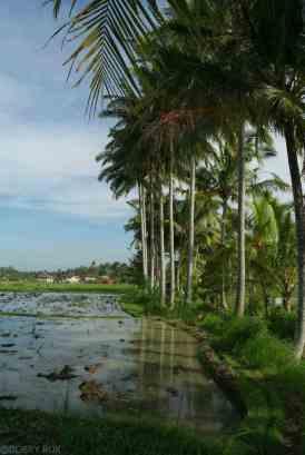 Pola ryzowe na Bali okolice Ubud (3)