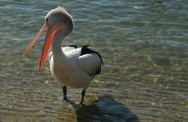 Pelikany w Noosa (1)