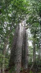 Wielkie i stare drzewa Kauri (2)