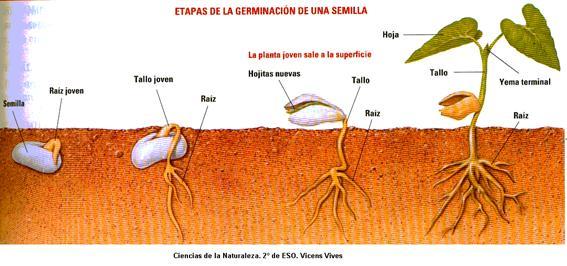 germinacion.gif
