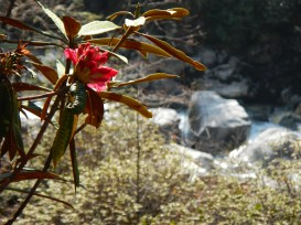 A rhododendron, the national flower of Nepal
