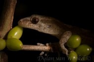 Pacific gecko. Photo © Dylan van Winkel.