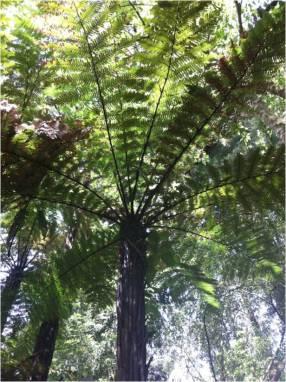 tree-fern/wheki