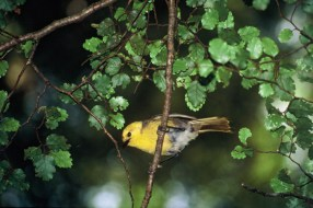 Mohua/yellowhead. Photo: Ian Southey.