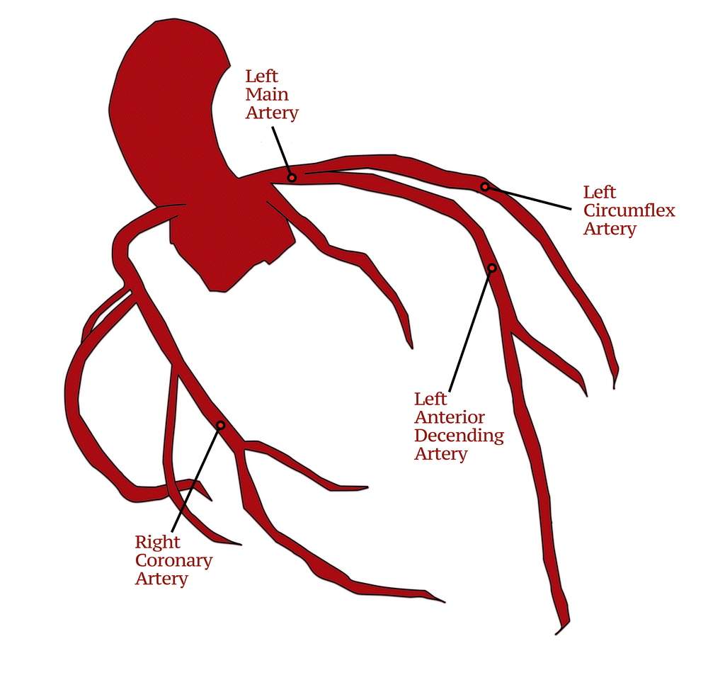 Coronary Arteries Branches Of The Coronary Circulation Doctablet