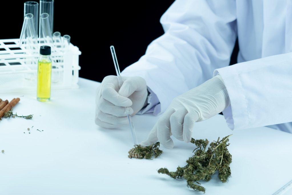Docteur analysant du cannabis et CBD - Cannabis Médical