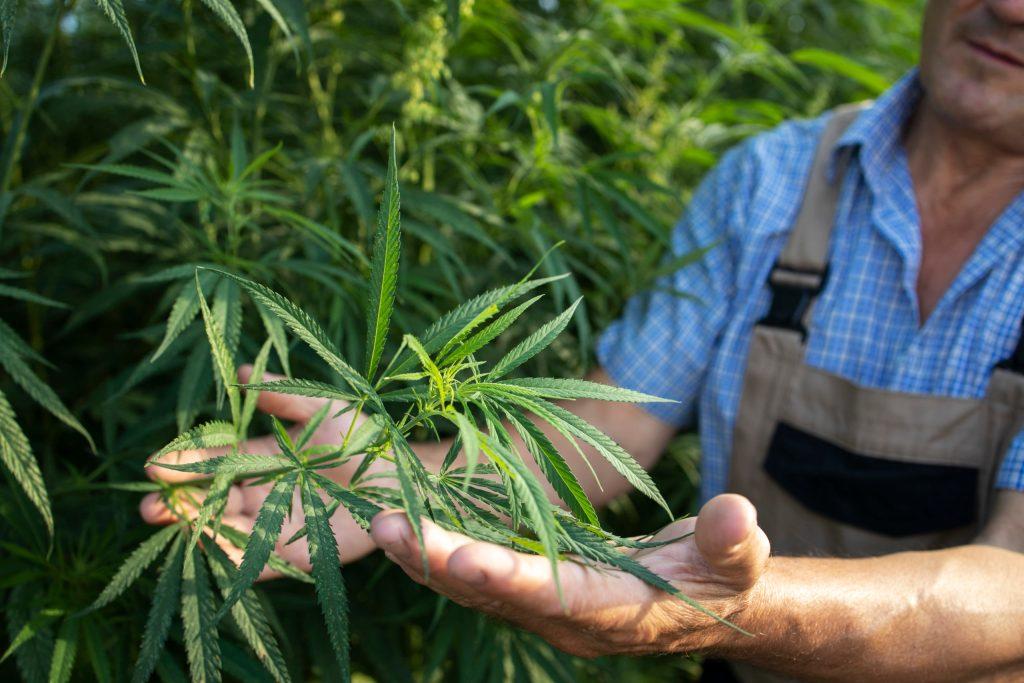 Médecine alternative, cultivateur de CBD