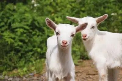 lait de chèvre meilleur pour la santé
