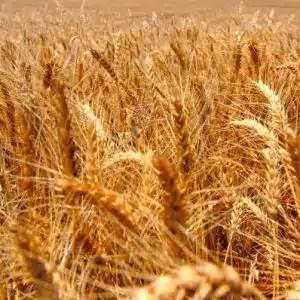 Germes de blé