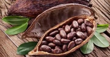 Graines de cacao bienfaits santé
