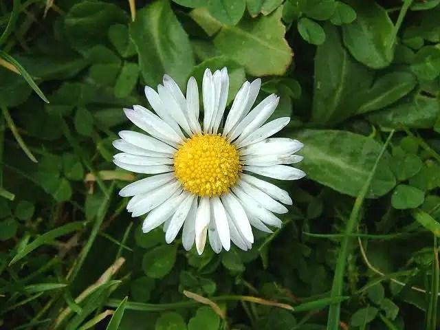Pâquerettes fleurs comestibles