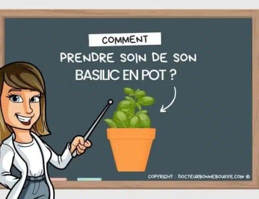 basilic en pot entretien intérieur
