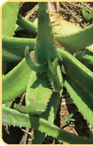 Aloe Vera Ormus the white gold