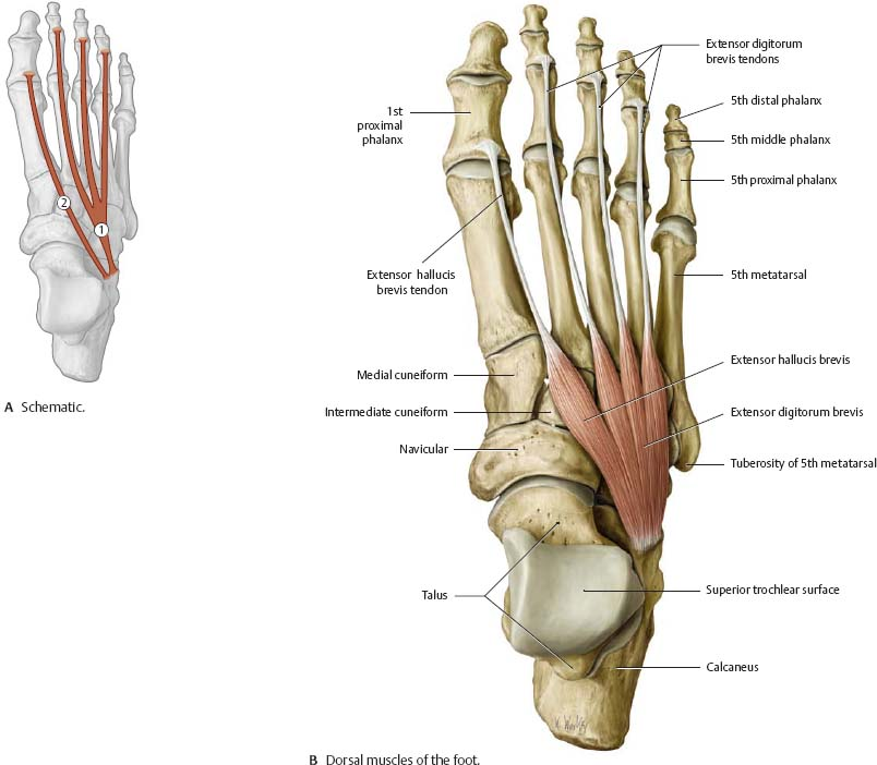 Surface Anatomy Of Sole Of Feet