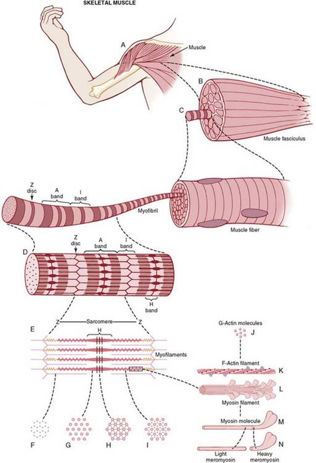 Contraction of Skeletal Muscle - Membrane Physiology ...