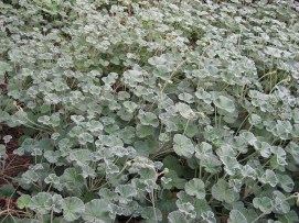 PelargoniumSidoides.jpg