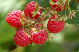 Red Raspberry, Artichoke, and Chancapiedra