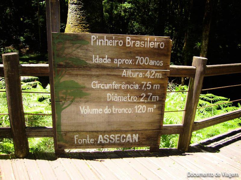 Árvore Araucária 700 anos