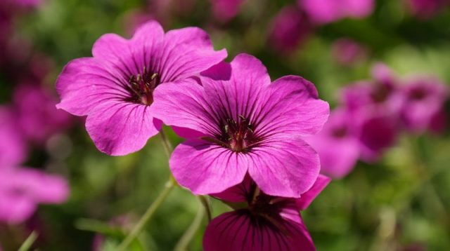 Geranium olie etherische essentiele