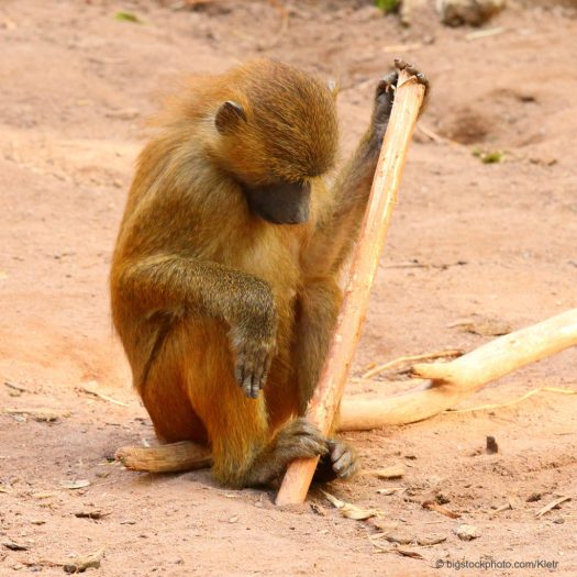 Baboon with Primitive Tool