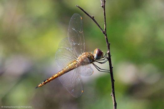 Globe Skimmer Dragonfly