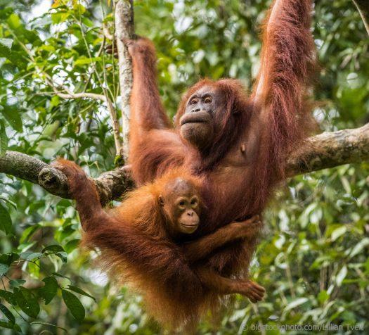 Nursing Orangutans