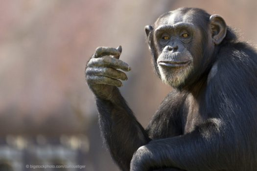 Apes and Humans