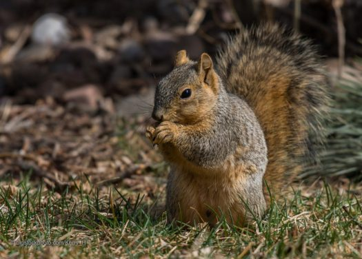 Fox Squirrels and My Wife