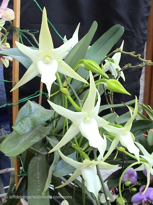 Coevolution and Angraecum sesquipedale