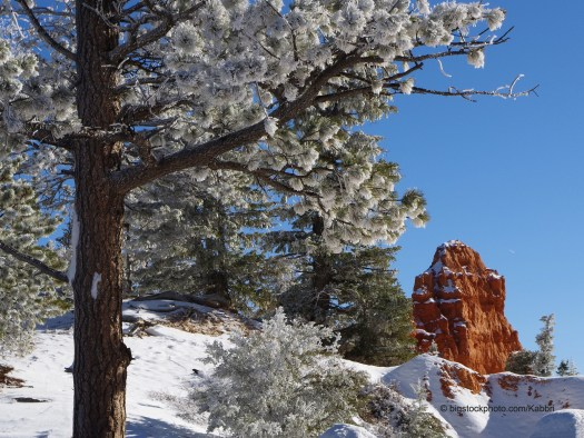 Pine Trees Stay Green in Winter