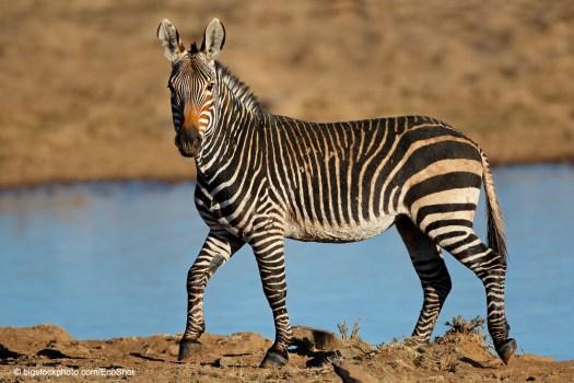 Why do zebras have stripes?