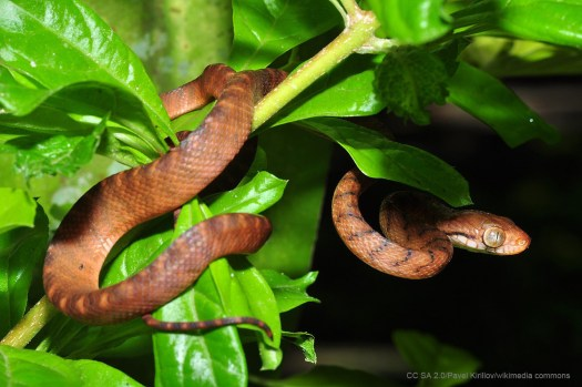 Alien Invasions such as the Brown Tree Snake on Guam cause extinctions
