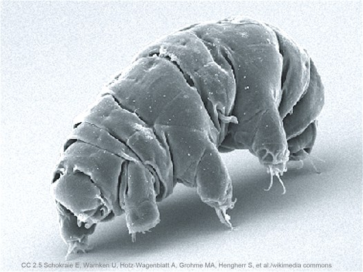 Tardigrades - Water Bears – Indestructible Life