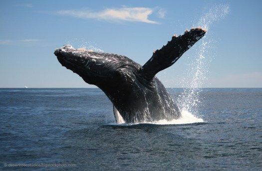 Value of a Whale - Humpback Breaching
