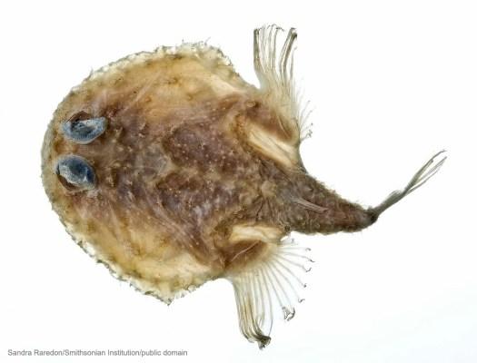 Fish as Flat as a Pancake