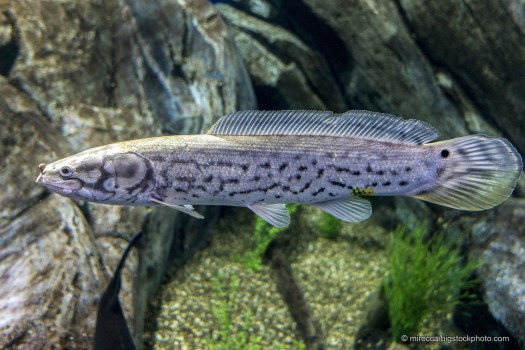 Bowfin - Fish That Can Live Out of Water