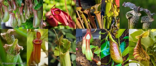 Nepenthes or Pitcher Plants