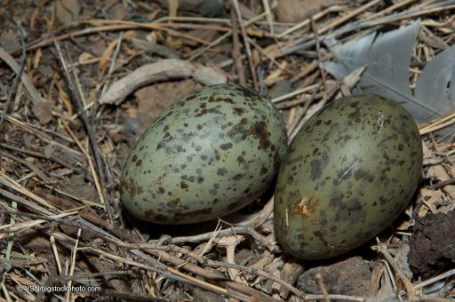 Embryonic Communication in Yellow-Legged Gull Eggs