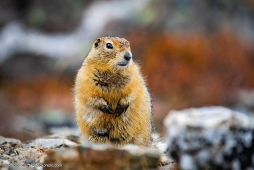 Arctic Ground Squirrels Hibernate