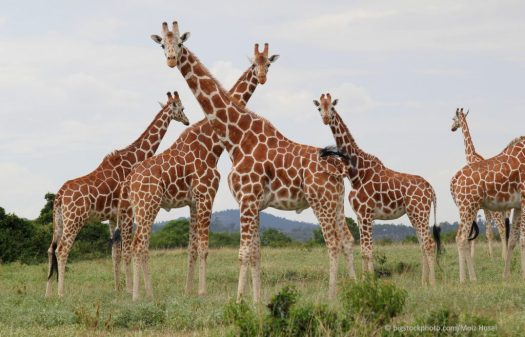 Design of the Laryngeal Nerve in Giraffes