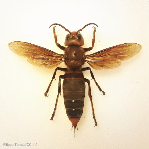 Murder Hornet Madness - Asian Giant Hornet